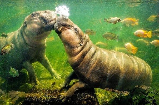 Поцелуй бегемотов
