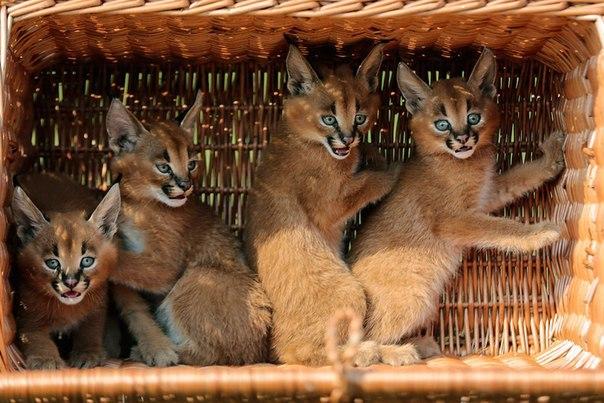 Котята каракала. Осталось в Туркменистане ~300 шт. животных, вымерло уже 90% видов!