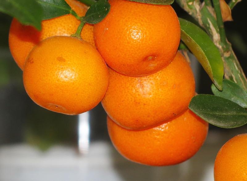 Сбор заказов. Павловский лимон и мандарин, мирт, гортензия, виноград, туя - 2