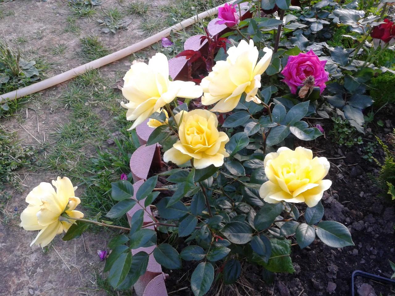 Отзывы. Чайно-гибридные розы 70 рублей