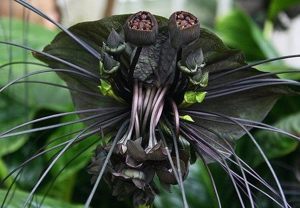 Цветок - летучая мышь
