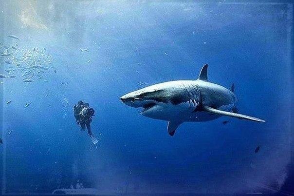 Это самое опасное животное в мире, убивающее миллионы живых существ каждый год. Возле него мы видим мирно плавающую белую акулу.