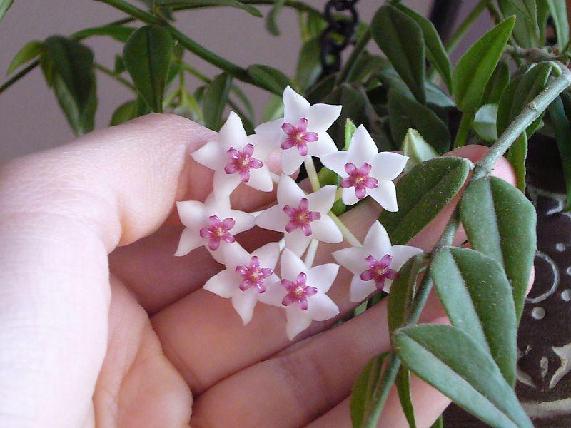 Хойя ( Hoya bellа ) у/ч - 80 руб