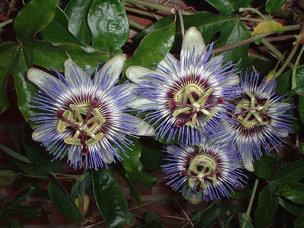 Пассифлора, страстоцвет, кавалерская звезда - (Passiflora) - у/ч 100 руб