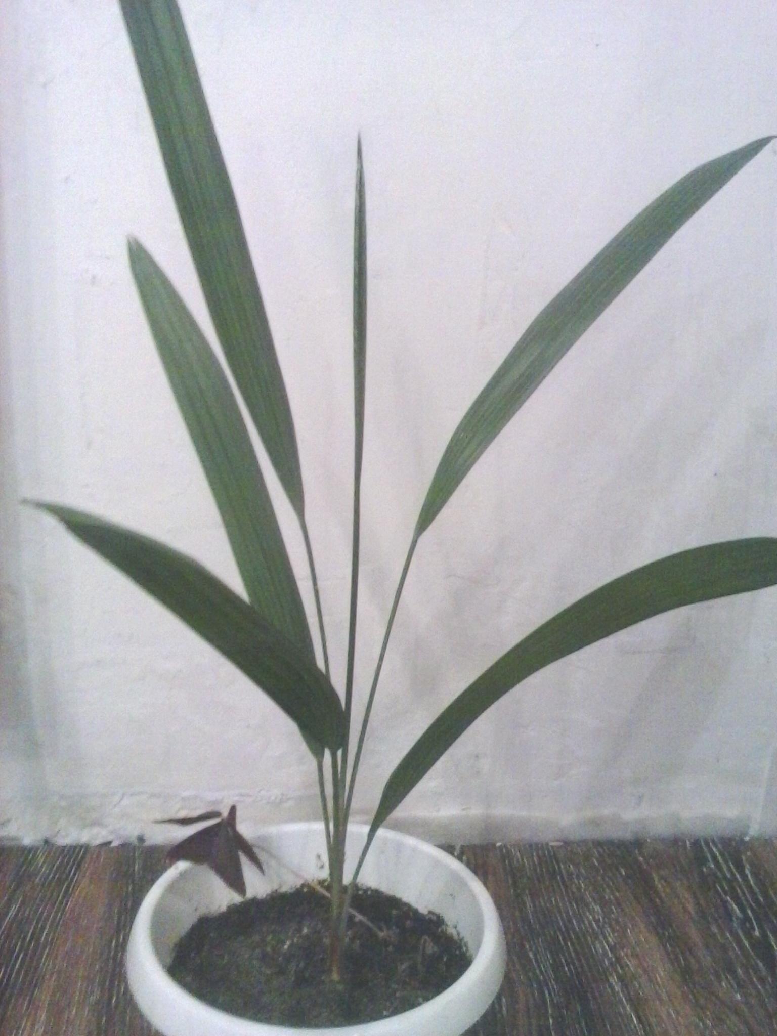 Финик, финиковая пальма - 200 руб