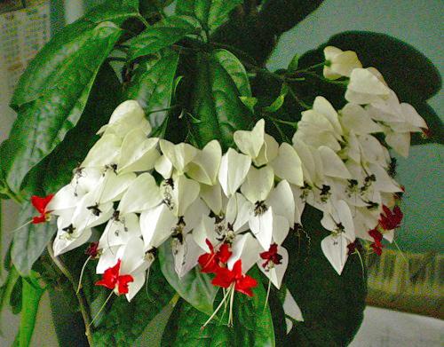 ������������ ������� ������ (Clerodendrum thomsoniae) - (��������) - 130 ���