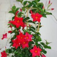 Диплодения (Dipladenia) красная,розовая - у/ч 130 руб