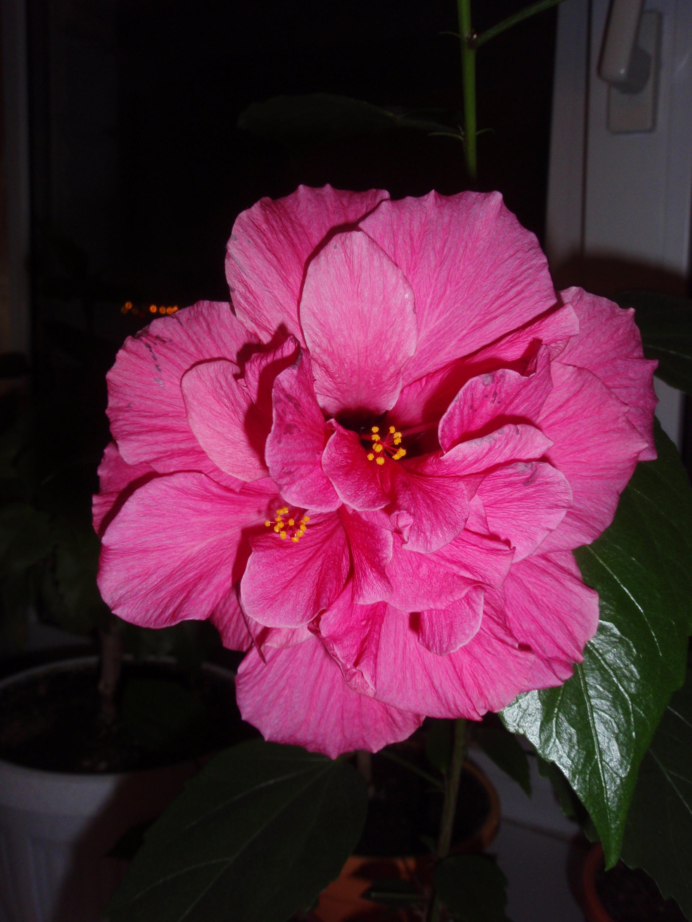 Гибискус (Hibiscus) темно розовый,светло розовый - у/ч - 250 руб