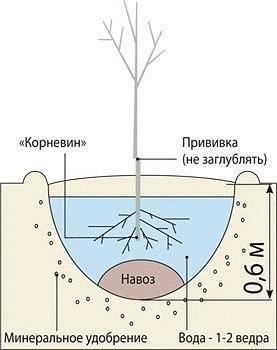 Как правильно посадить молодое дерево