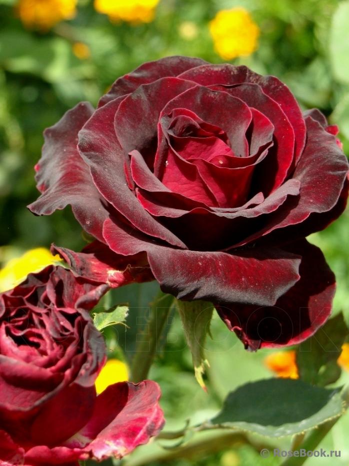 Рекомендую. Розы чайно-гибридные по 80руб, гибискус, тутовник, саженцы плодовых деревьев-2