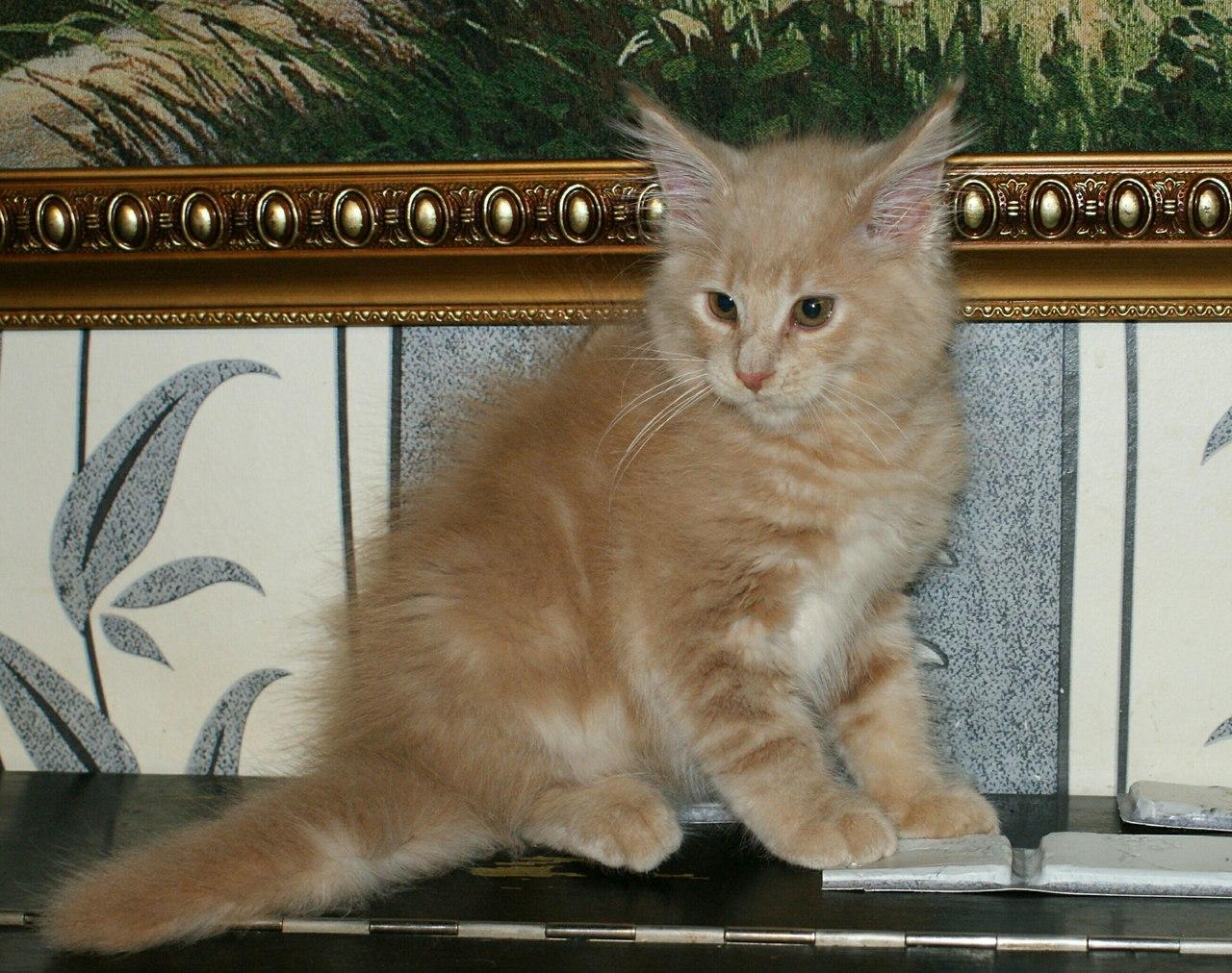Отличные котята Мейн Кун из Пензенского питомника.
