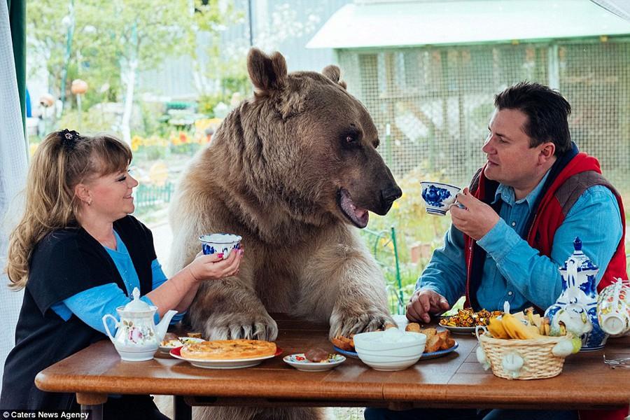 Медведь в России - больше, чем медведь...