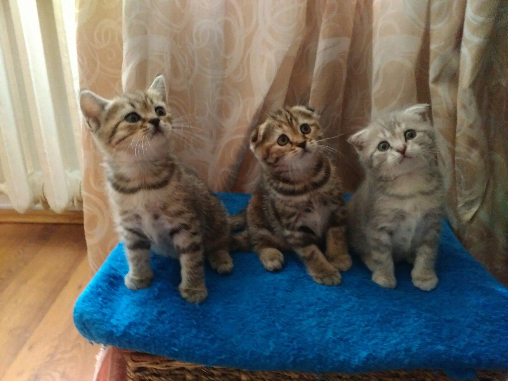Шотландские котятки ищут новый дом!