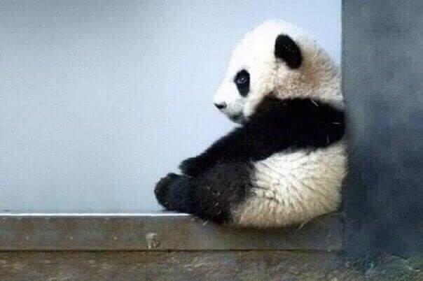 Ученые говорят, что когда панда грустит, она просто сидит в одиночестве...