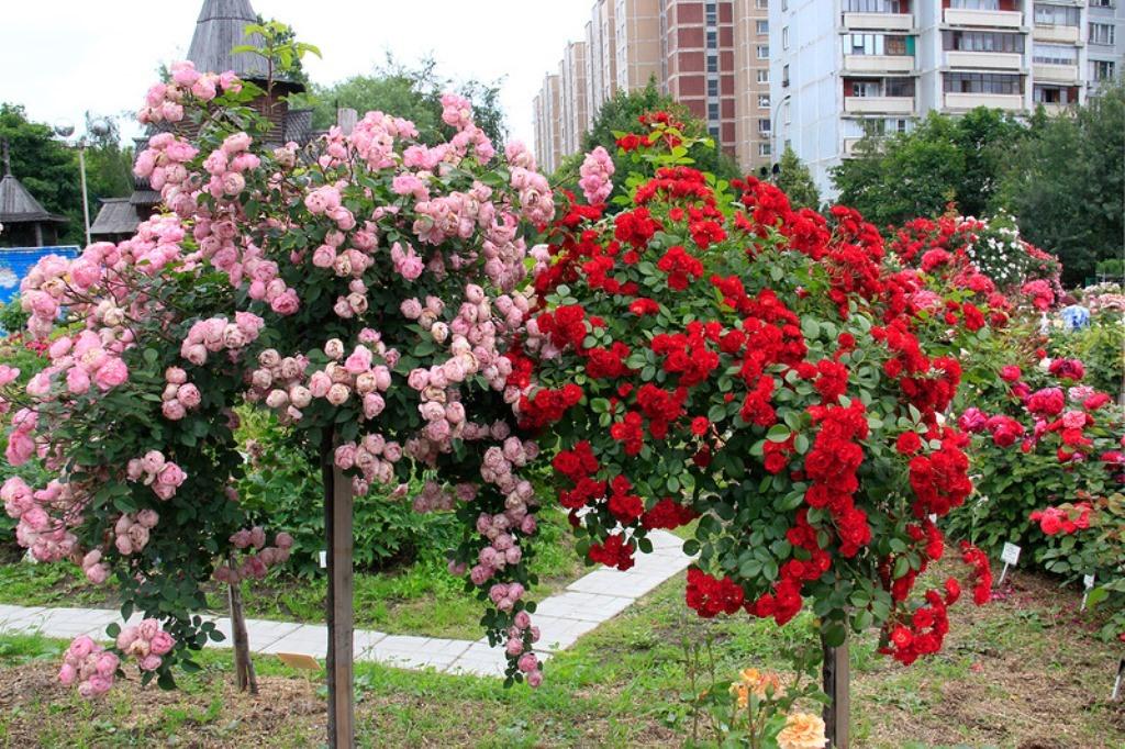 Розы Кордес Германия. Весна 2017г