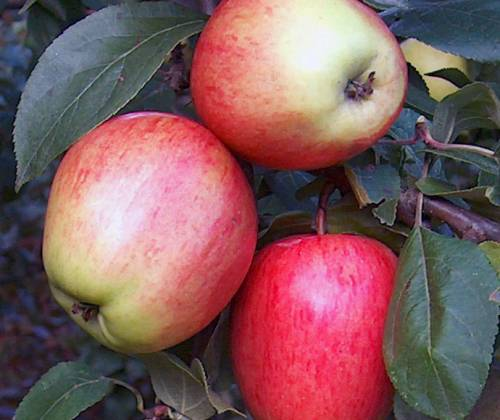 Сбор заказов. Школьный сад - большой выбор районированных сортов, здоровые, крепкие саженцы плодовых деревьев, ягодных и декоративных культур. Август-сентябрь.