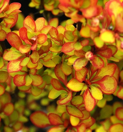 Декоративные растения. Хвойники, кустарники, многолетники, плодовые!! Цены просто замечательные! Выкуп 4