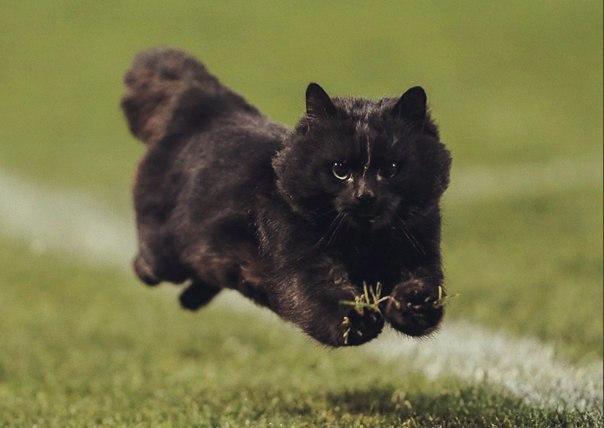В Австралии во время матча по регби на поле выбежал офигенный черный кот. Вы только взгляните на этого красавца.