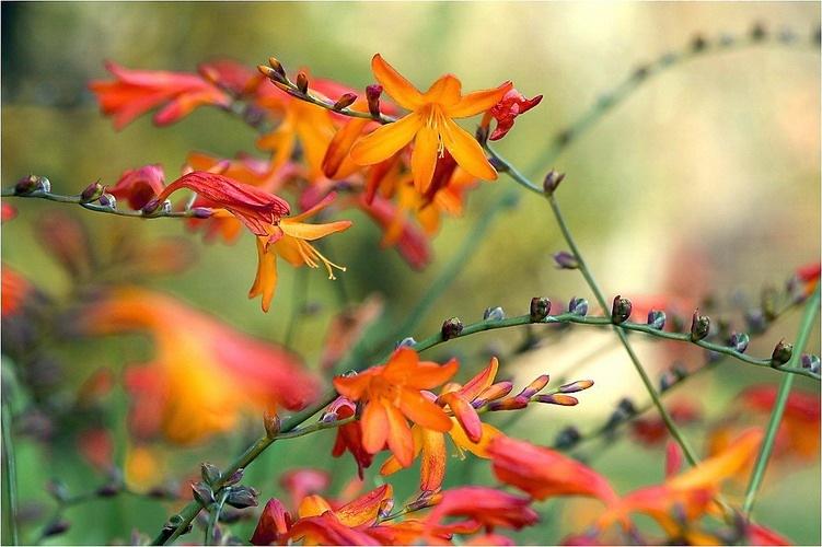 Сбор заказов. Декоративные растения с частого хозяйства Gardenia, украшение для Вашего сада. Акции, подарки всем! Выкуп 4