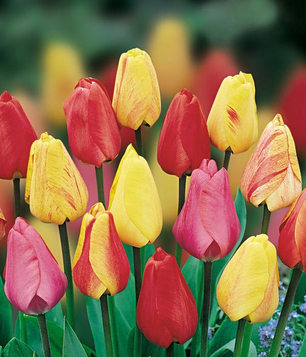 Сбор заказов.Осенние луковичные - Очень красивые тюльпаны, нарциссы, крокусы и много других цветов!!!!Высокое качество.Выкуп 1.