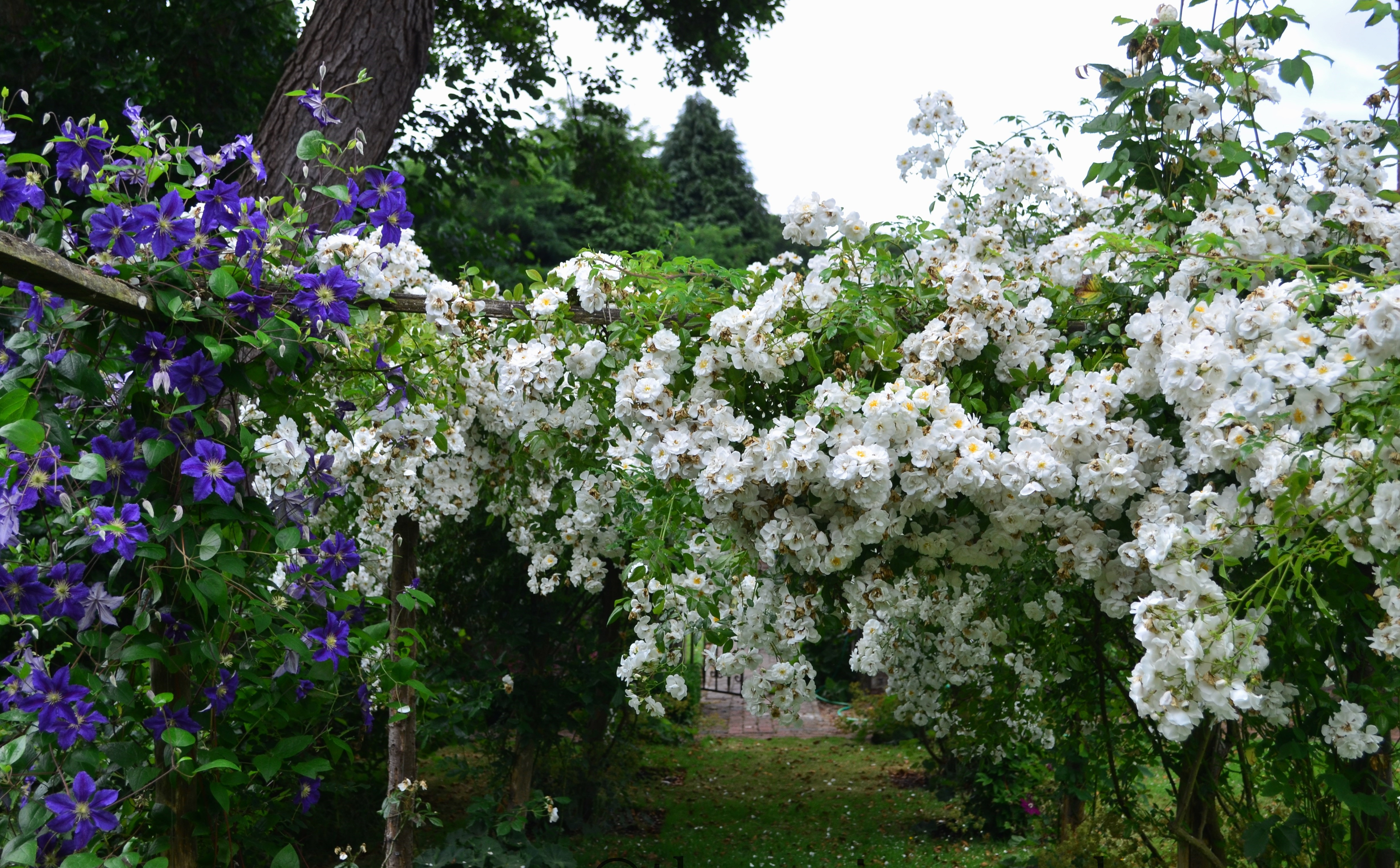 Сбор заказов. Невероятные, неповторимые розы Ленс-4. Заказ на весну 2017г Есть Штамбы!