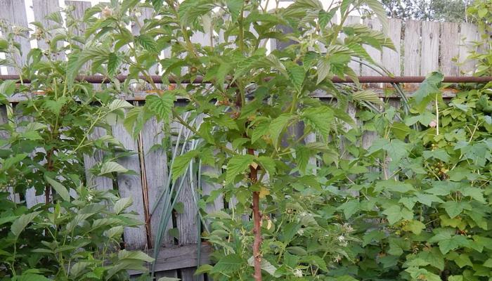 Саженцы Малинового дерева и зеленой сливы