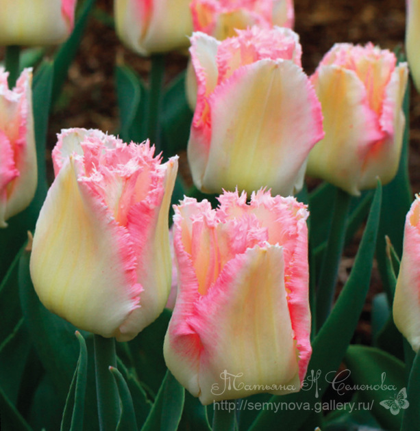 Сбор заказов.Осенние луковичные.Акция!!!Очень красивые тюльпаны, нарциссы, крокусы и много других цветов!!!!Высокое качество.Выкуп 2.