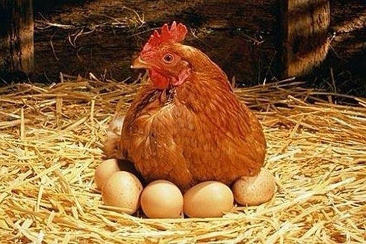 Роль мясокостной муки жизнедеятельности домашней птицы.
