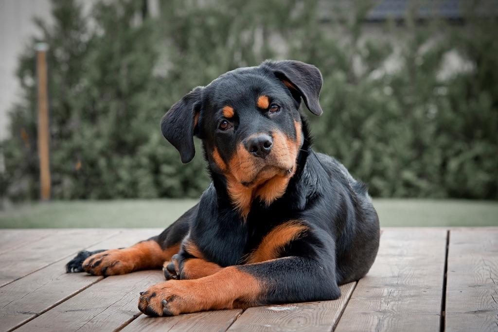 Применение мясокостной муки в собаководстве.