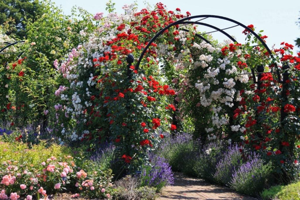 Пионы древовидные, клематисы, розы. Предзаказаз на весну 2017г