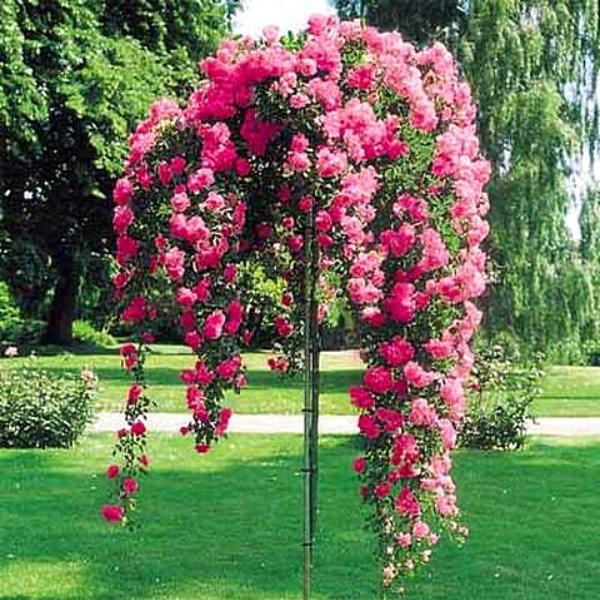 Сбор заказов. Розы Монтеагро (Сербия), обычные и штамбовые.