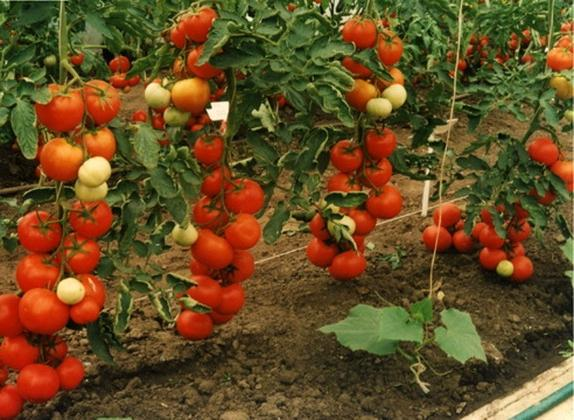 Сбор заказов Высококачественные семена гибридов F1 вкусных томатов, огурцов от Иль@и@ничны (в сотрудничестве с ВНИИ Овощеводства) с высоким уровнем устойчивости к вредоносным болезням, даже к мучнистой росе 2. Огромный пристрой семян РуССкий огород