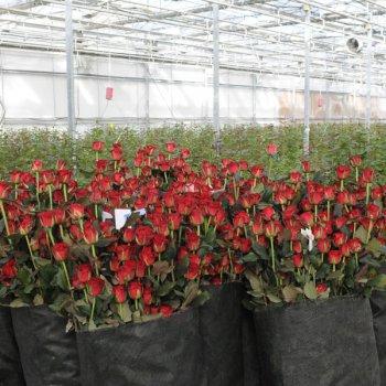 Сбор заказов. Дарите цветы просто так! Впервые на нашем форуме свежесрезанные розы. Цены вас приятно удивят. Выкуп 3