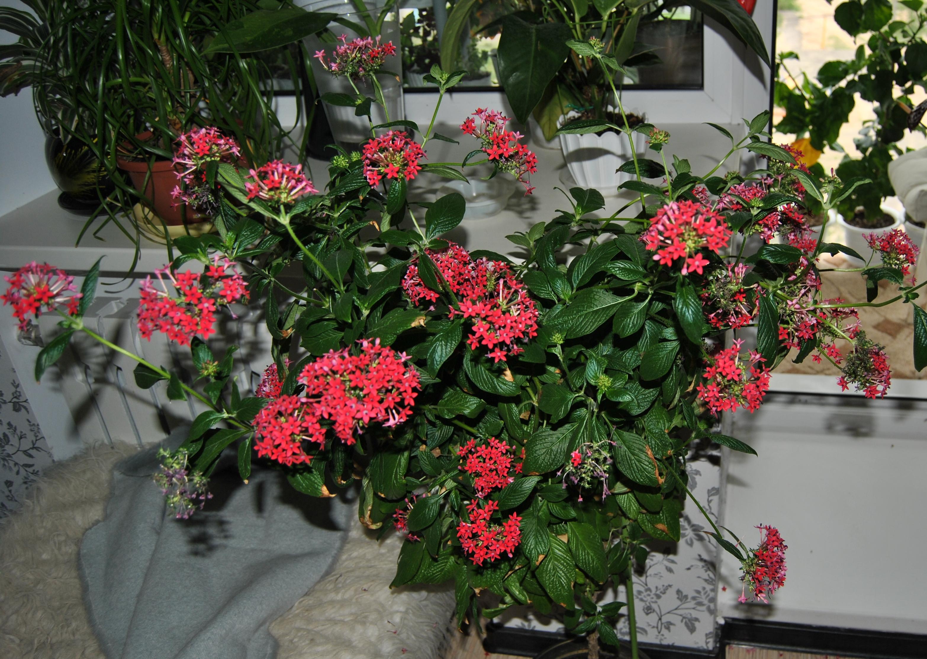 Выращивание кроссандры в домашних условиях 174