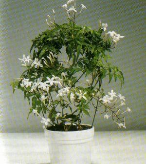 Приметы жасмин цветок