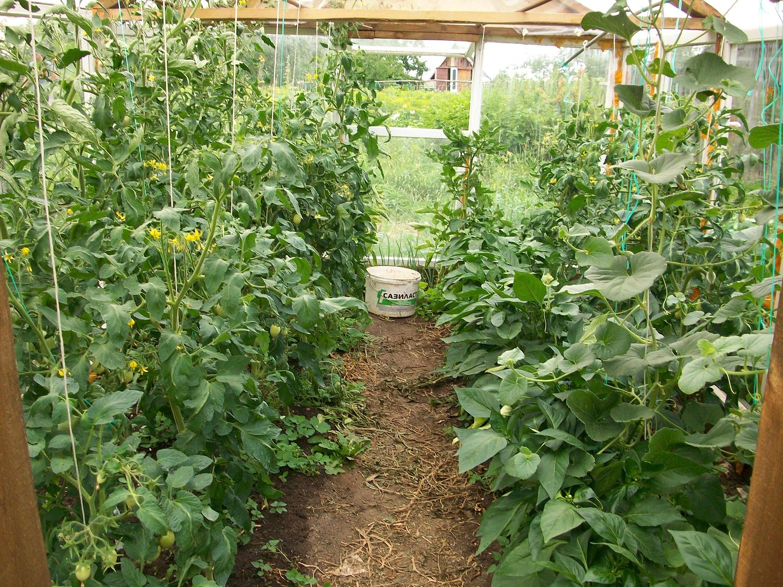 Перец и баклажаны в одной теплице с помидорами и огурцами 15