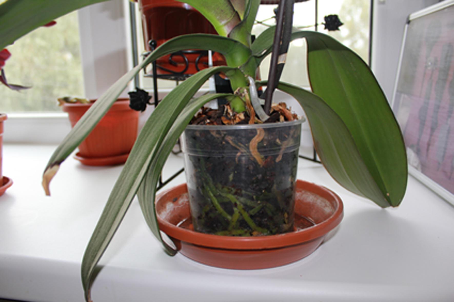 Что делать, чтобы зацвела орхидея Цветы орхидеи 42