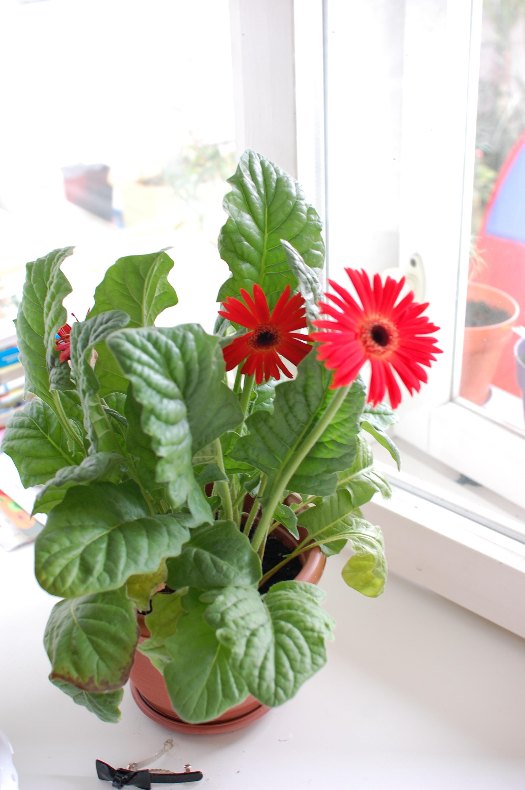 Цветок гербера домашний фото и названия