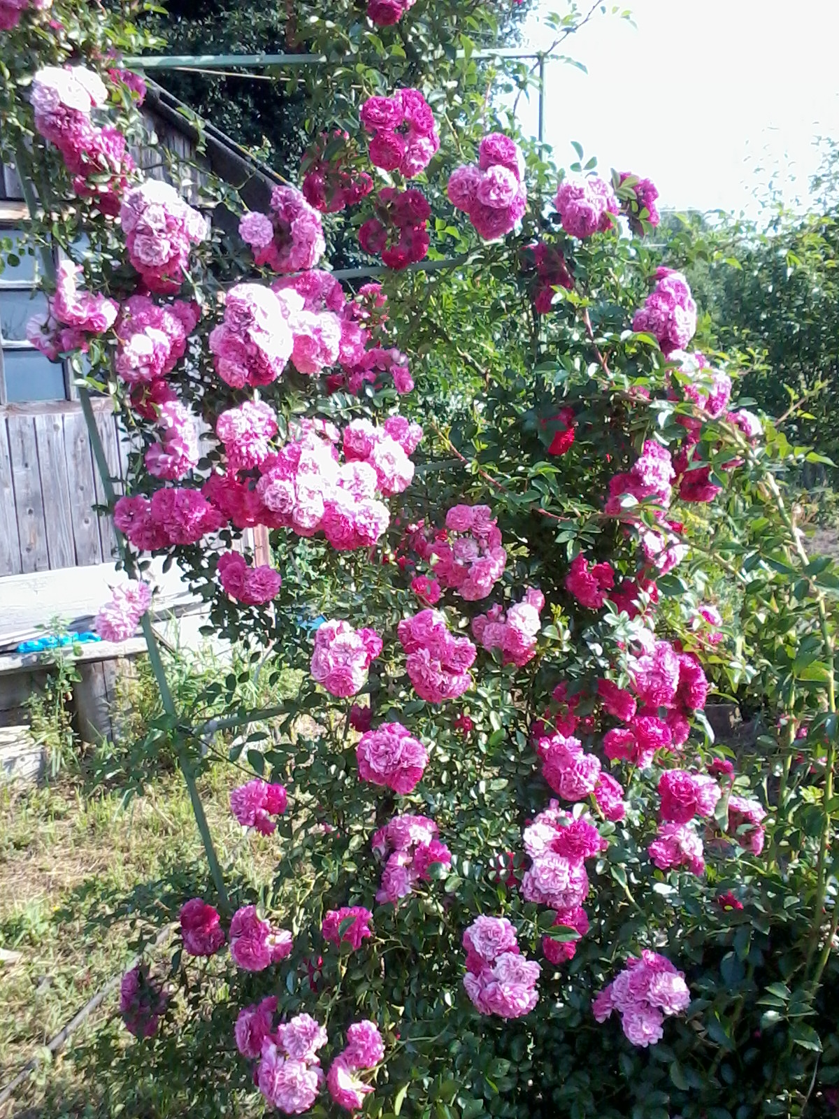 Роза лиана плетистая 3