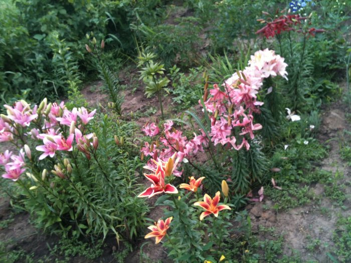 Лилии посадка