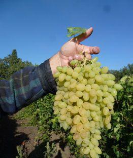 Виноград сорта аттика подробное описание фото отзывы
