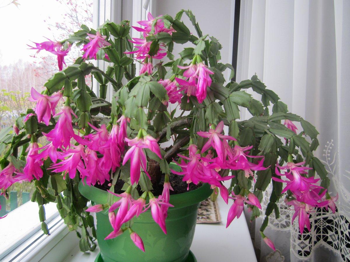 Комнатные цветы декабрист купить