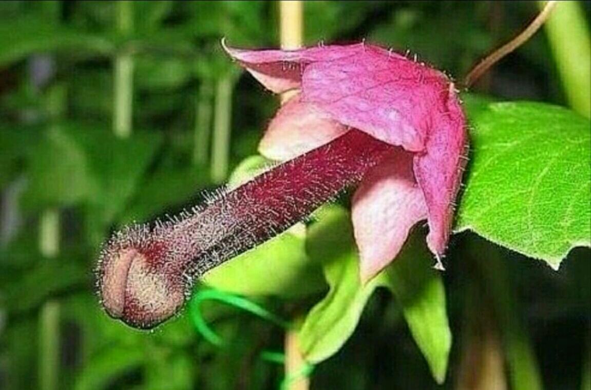 Цветок Путана