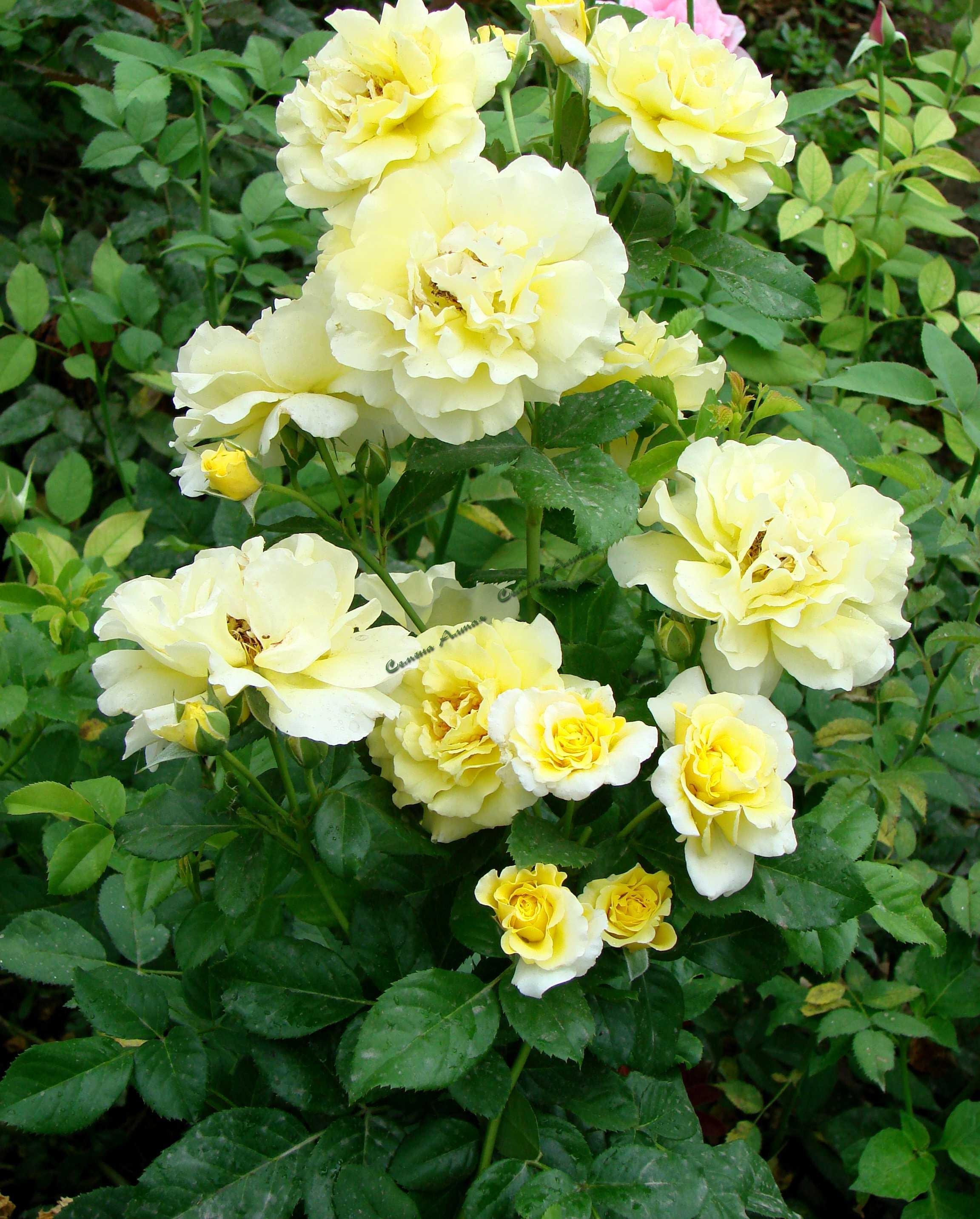 роза казино плетистая описание