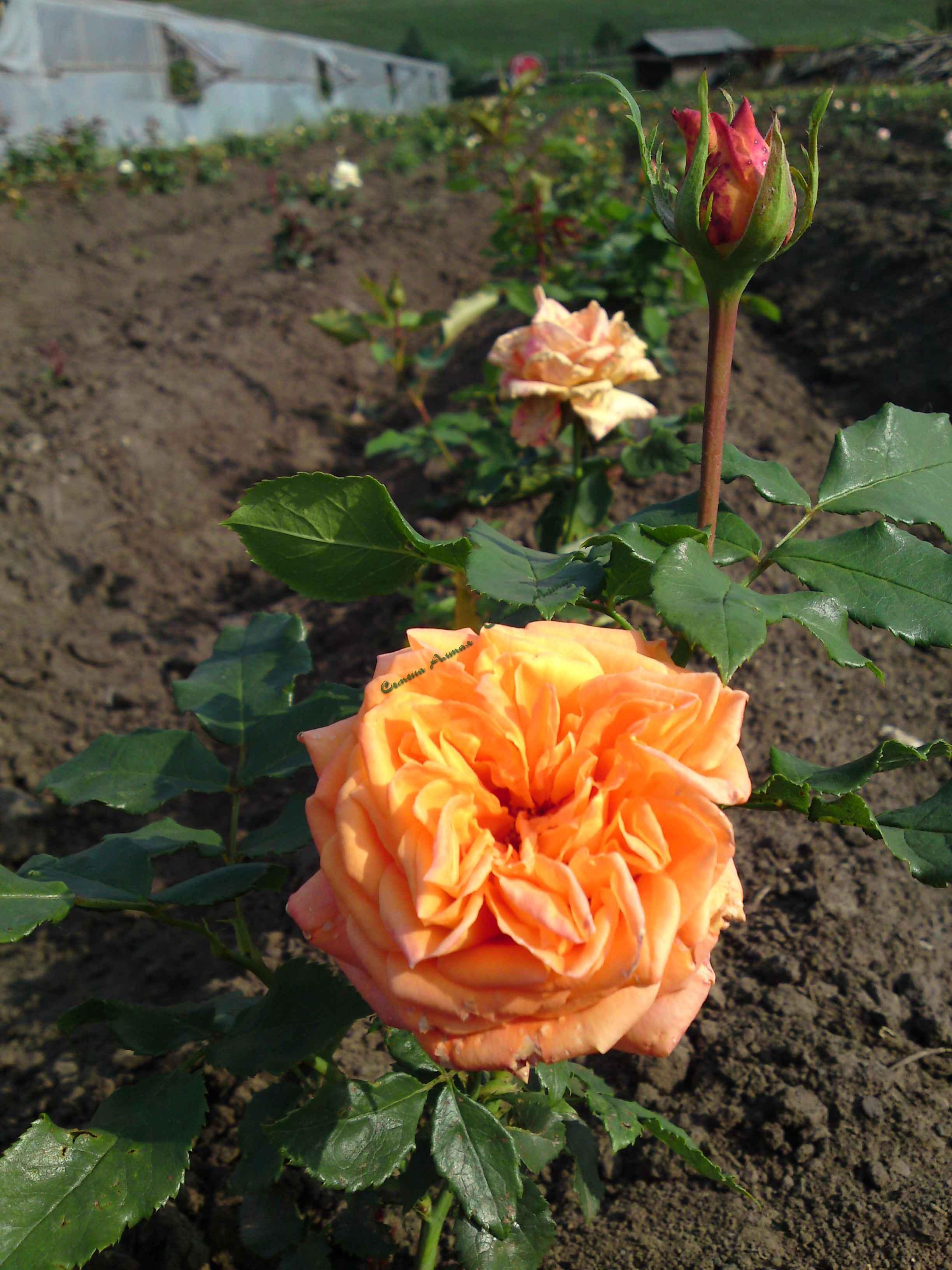 Роза эльдорадо фото 4