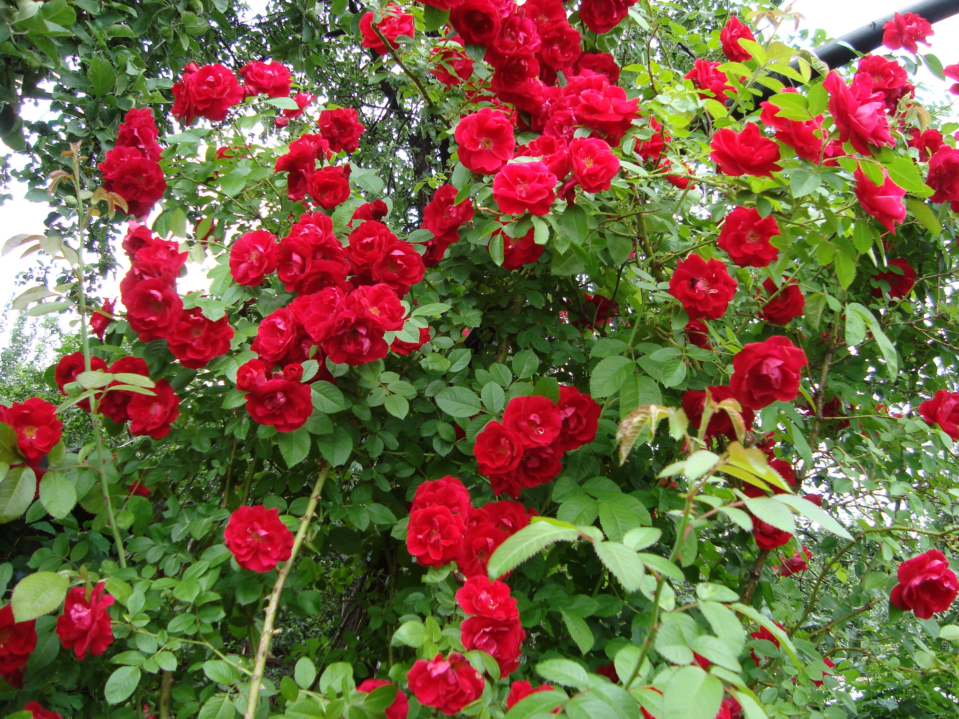 Фото розы сантана 3