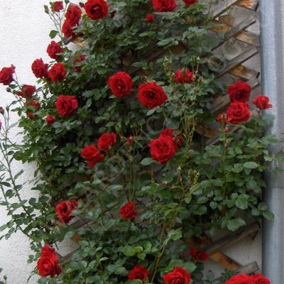 Rose red casino casino game nokia 5233