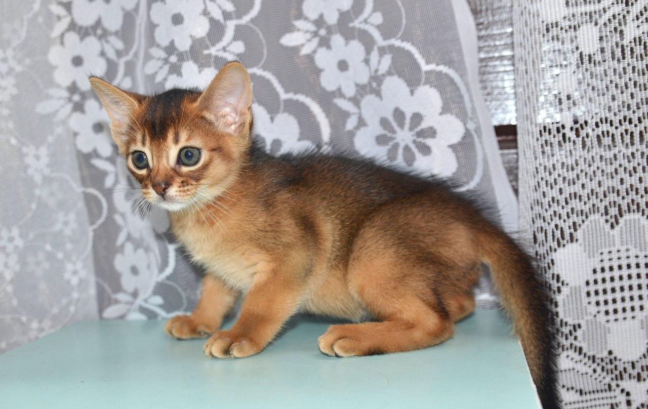 метисы абиссинской кошки фото предлагаем