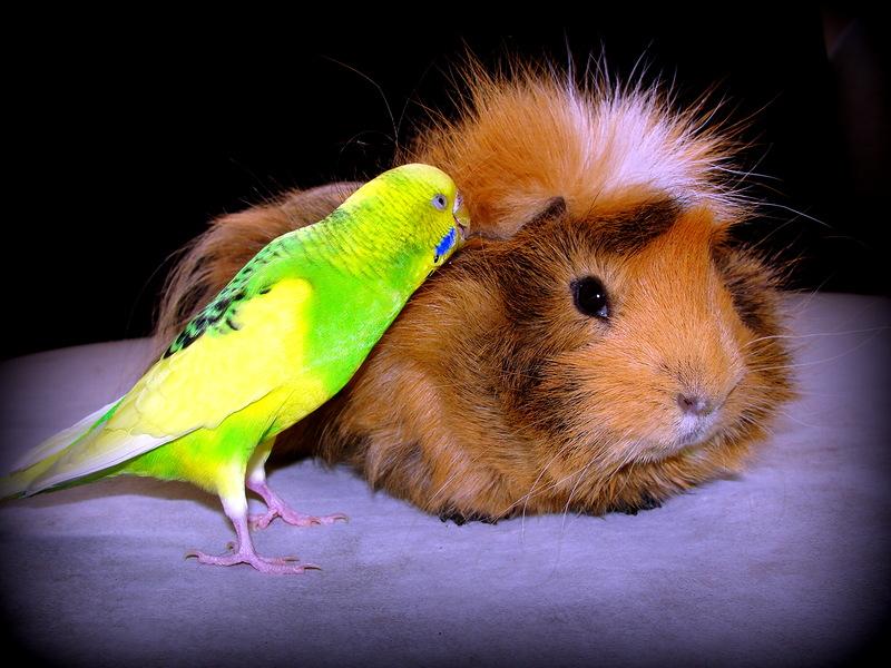 картинки с попугаем и хомячком муж, рати обычно