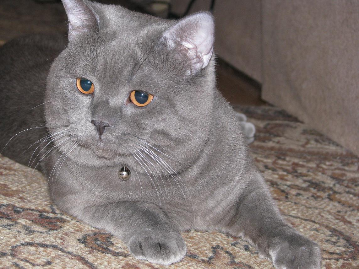 детей британский прямоухий кот в картинках неотъемлемая часть